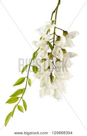 Blossoming wild acacia with leafs isolated on white, acacia branch with flowers
