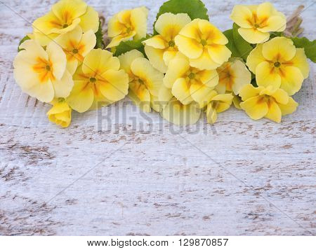 Yellow primrose flowers bouquets on the white rough painted background