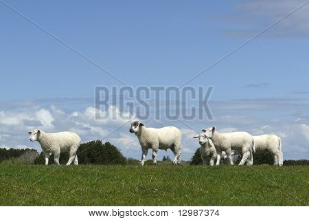 Sheep Move On A Dyke On The Island Of Sylt