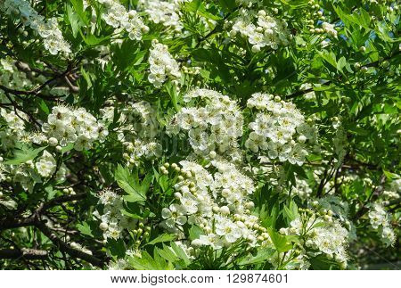 Blooming hawthorn in a sunny day close up for background