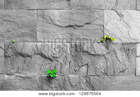 Pipal Leaf Growing Through Crack In Old Sand Stone Wall, Survival Concept