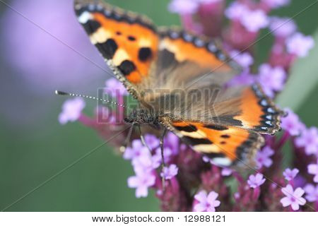 butterfly urticaria sits on a purple flower heliotrope, macro photography