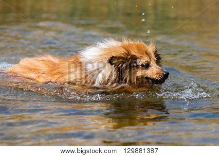 shetland sheepdog swims in water of a lake