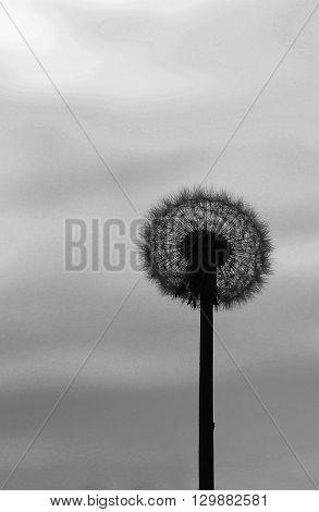 a very  nice a silhouette dandelion flower