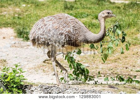 Detail View Of An Ostrich In A Zoo.