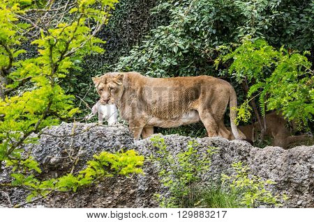 View Of A Lion In A Zoo Eating