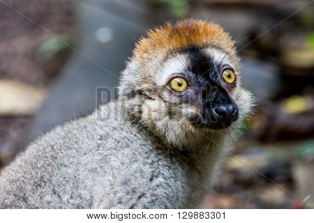 View Of A Lemur In A Zoo