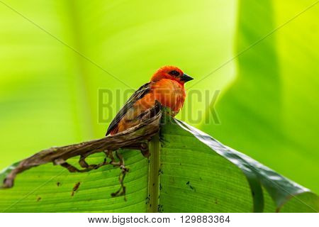 Red Cardinal Bird In A Swiss Zoo