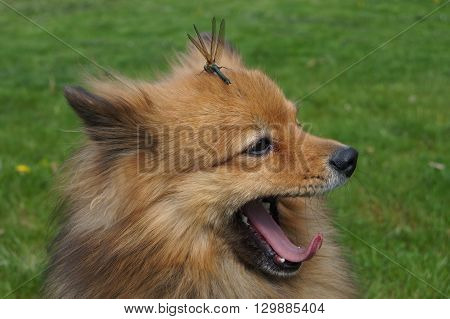 Dragonfly sits on the head of a dog breed German Spitz.