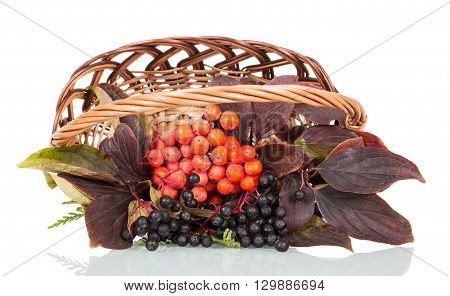 Basket with berries of mountain ash and elderberry isolated on white background.