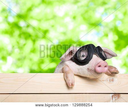 Funny piglet.