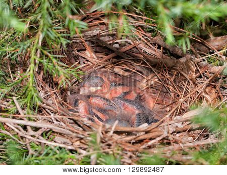 Northern Cardinal nest in a Cedar tree with tiny hatchlings