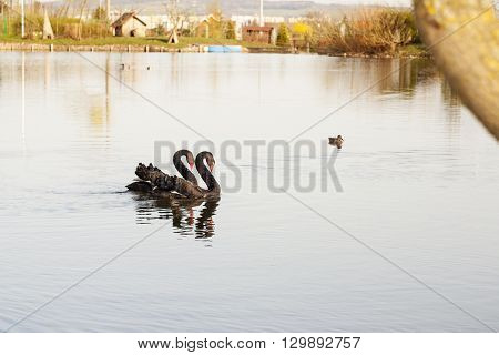 Pair of black swans swimming on a lake on a sunny afternoon.