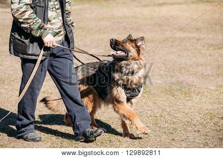 German Shepherd On Obedience Dog Training. Alsatian Wolf Dog. Deutscher Dog