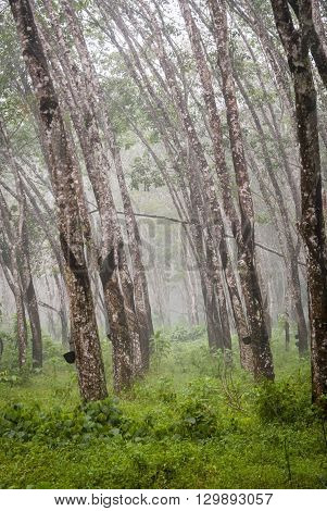View on caoutchouc tree forest plantation, Malaysia