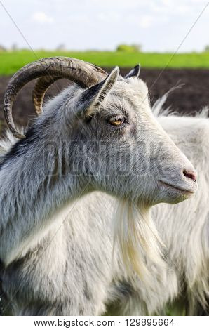 live adult goat with horns coloring white close-up