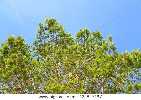 Pine tree closeup at spring sunny day.