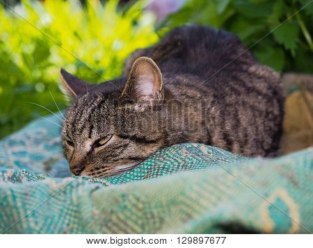 Big gray striped cat resting. Portrait of a beautiful cat in nature