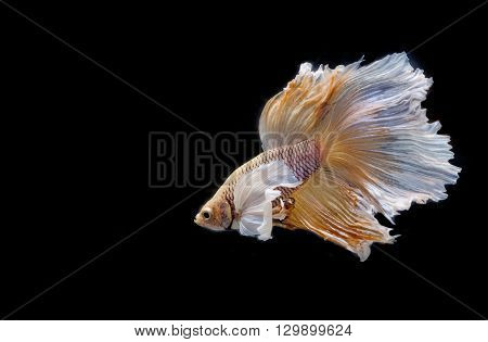 Moving moment of big ear siamese fighting fish isolated on black background.