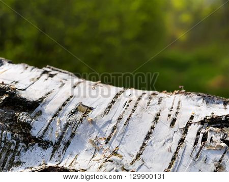 Close up birch tree in spring background