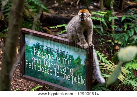 Lemur On A Sign Board In The Masoala Hall