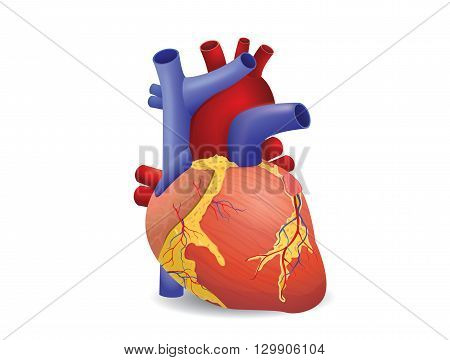 Human heart vector isolated on white background. This illustration about medical and health care.
