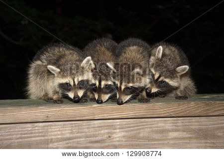 Four Cute Baby Raccoons On A Deck Railing