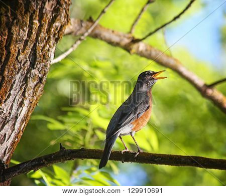 a pretty robin singing on a branch in a tree at sunset in a park