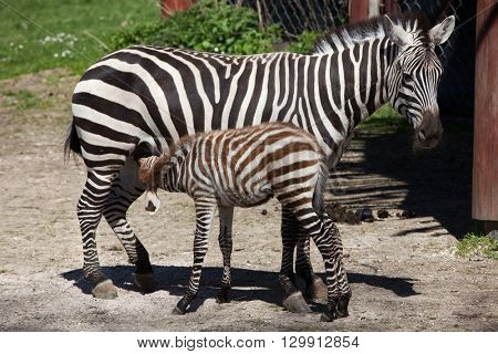 Grant's zebra (Equus quagga boehmi) feeding its foal. Wild life animal.