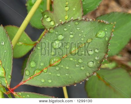 Drops On Serrated Leaf