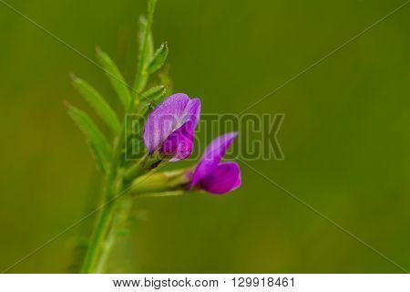 Close up photo of Common Vetch (Vicia sativa)