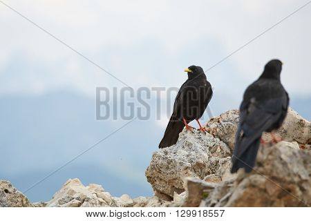 Black crow on a mountain top