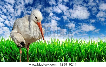 Stork on the background of green grass and blue sky