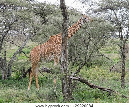 A masai giraffe eating leaves off of a tree