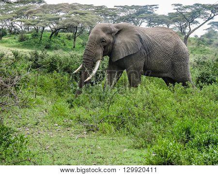 An elephant walking through the brush on the Serengeti.