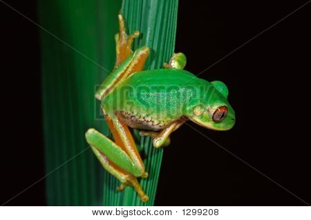 Forest Tree Frog