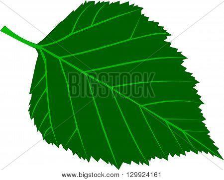 birch , Betula verrucosa , isolated birch leaf,