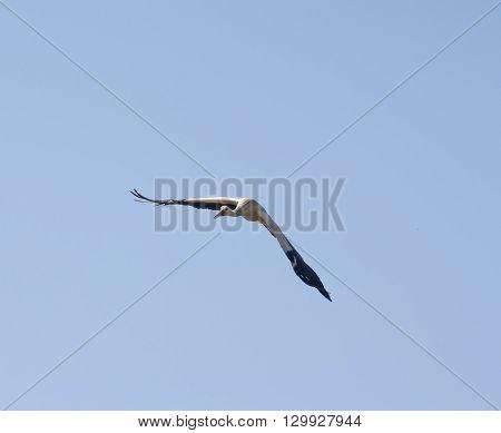 shot of stork in flight against blue sky