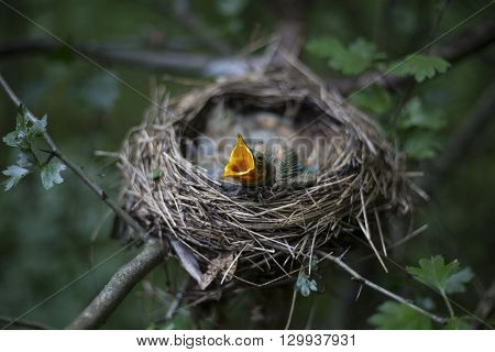 Bird's Nest With Chicks In A Tree.