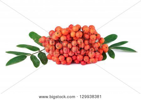 Rowan berry Sorbus aucuparia on white background