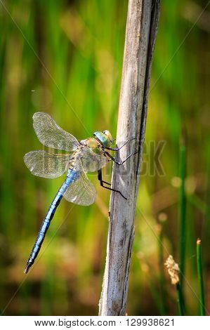 Dragonfly perched on a stem of grass