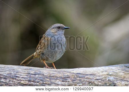 Dunnock (Prunella modularis) perched on a branch