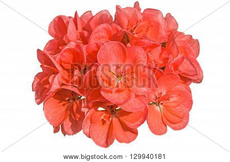 Orange salmon cranesbill (pelargonium hortorum also called zonal geranium garden geranium malva or malvon) flowers in bloom isolated over white.