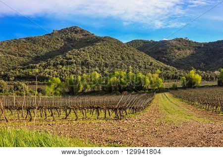 Spring Vineyard In Catalonia (spain).