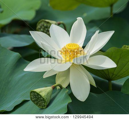 white lotus on isolated white background.