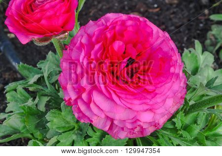 Pink persian buttercup flowers (Ranunculus asiaticus) blooming in a garden. Springtime.