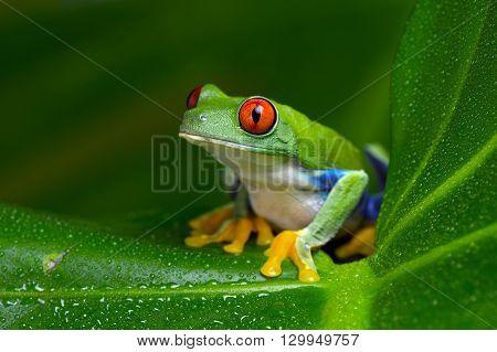 Red-Eyed Amazon Tree Frog (Agalychnis Callidryas) on large palm leaf
