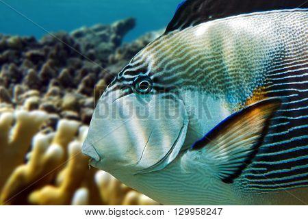 Sohal surgeonfish (Acanthurus sohal) with coral reef Red Sea Egypt
