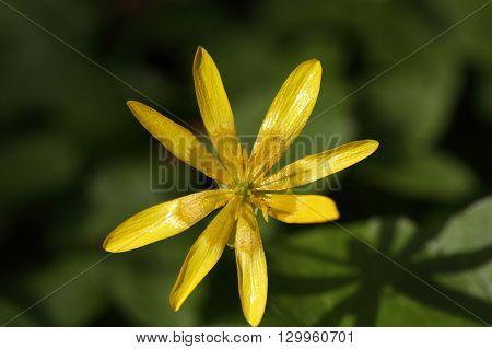 Flower of the Lesser Celandine Ficaria verna
