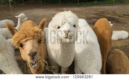 curious bronw and white alpacas eating grass